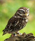 Little Owl. On Falconers Glove royalty free stock photo
