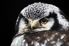Free Little Owl Royalty Free Stock Images - 97403039