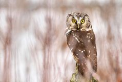 Little owl Aegolius funereus Stock Images