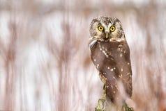 Little owl Aegolius funereus Stock Images