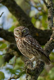 Little Owl in an apple tree. A Little owl sitting on a apple tree branch royalty free stock photography