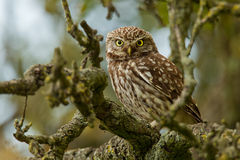 Little Owl in an apple tree. A Little owl sitting on a apple tree branch stock photo