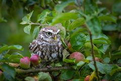 Little Owl Athene Noctua Royalty Free Stock Photos
