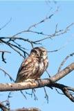 Little owl ( Athene noctua) Stock Photography