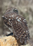 Little Owl (Athene Noctua) Royalty Free Stock Image