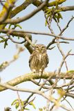 Little Owl  / Athene noctua Royalty Free Stock Photography