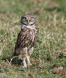 Little Owl - Athene noctua Royalty Free Stock Photography