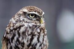 Little Owl (Athene noctua). Portrait of a Little Owl Stock Photo