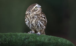 Little Owl or Athene noctua Stock Image