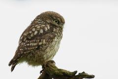 Little Owl (Athene noctua). Against white background Stock Photos