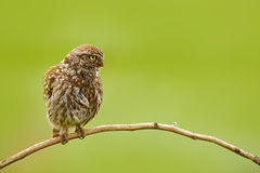Little Owl, Athene noctua, bird in the nature habitat, clear green background. Bird with yellow eyes, Hungary. Wildlife scene from Royalty Free Stock Photography