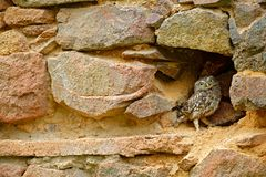 Little Owl, Athene noctua, bird in the nature old urban habitat, stone castle wall in Bulgaria. Wildlife scene from nature. Owl. Hidden in house with big stone stock photography