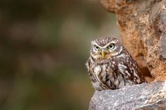Little Owl, Athene noctua, bird in the nature old urban habitat, stone castle wall in Bulgaria. Wildlife scene from nature. Owl. Hidden in house with big stone stock images