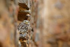 Little Owl, Athene noctua, bird in the nature old urban habitat, stone castle wall in Bulgaria. Wildlife scene from nature. Owl. Hidden in house with big stone royalty free stock photos