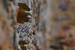 Little Owl, Athene noctua, bird in the nature old urban habitat, stone castle wall, Hungary Stock Image