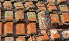 Little Owl Athene noctua. The Little Owl Athene noctua is a bird which is resident in much of the temperate and warmer parts of Europe, Asia east to Korea, and royalty free stock photo