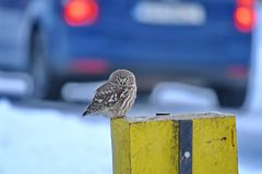 Little Owl Athene noctua. The Little Owl Athene noctua is a bird which is resident in much of the temperate and warmer parts of Europe, Asia east to Korea, and stock images
