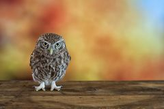 Little Owl Athene noctua on colorful background. With copy space.  Royalty Free Stock Photo