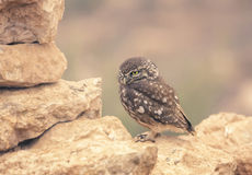 Little Owl (Athene noctua) on dry stone wall Stock Photos
