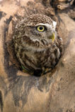 Little Owl (athene noctua) Stock Image