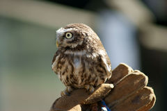 Little Owl (Athene Noctua) on a gloved hand Stock Photos