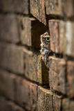 Little Owl. A little owl, (Athene noctua) hides in an old wall stock images