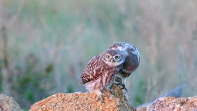 Little owl Athene noctua with his nestling stands on a stone and cleaned.  stock video footage