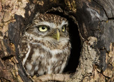 Little Owl (Athene noctua) Royalty Free Stock Photography