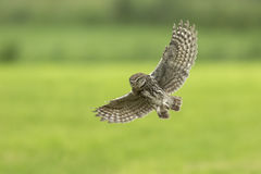 Little owl, Athene noctua, hunting in flight spread wings. Little owl, Athene noctua, bird of prey in flight with spread wings while hunting above farmland stock photos