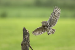 Little owl, Athene noctua, hunting in flight spread wings. Little owl, Athene noctua, bird of prey in flight with spread wings while hunting above farmland royalty free stock photos