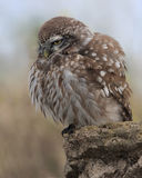 Little Owl (Athene Noctua) inflated Stock Photos