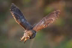 Free Little Owl Athene Noctua Is Flying With Prey Royalty Free Stock Photos - 192377188