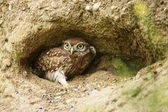 Little owl  Athene noctua Royalty Free Stock Photography