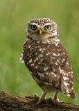 Little Owl (Athene noctua) Royalty Free Stock Photos