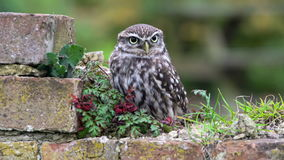 Little Owl Athene noctua stock video