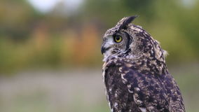 Little Owl Athene noctua stock footage