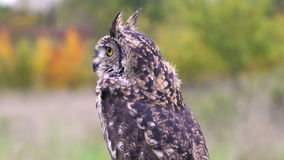 Little Owl Athene noctua stock video footage