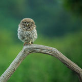 Little Owl (Athene noctua). North Yorkshire, England royalty free stock photos