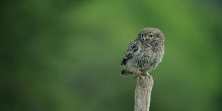 Little Owl (Athene noctua) Royalty Free Stock Photo