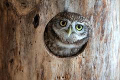 The little owl Athene noctua peeps out of the hollow Royalty Free Stock Photos