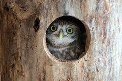 The little owl Athene noctua peeps out of the hollow Royalty Free Stock Photography