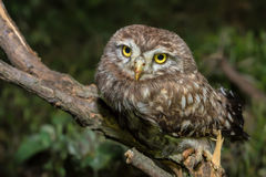 Little owl or Athene noctua perched on branch. Against a dark forest background stock photo