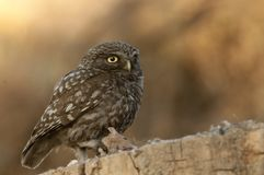 The little owl, nocturnal birds of prey, Athene noctua, perched on a branch with a mouse recently hunted royalty free stock photography