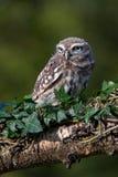 Little Owl (athene noctua) Royalty Free Stock Photo