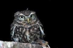 Little Owl (Athene Noctua) Stock Photography