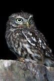 Little Owl (Athene Noctua) Royalty Free Stock Image