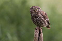 Little Owl Athene noctua Stock Photos