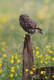 Little Owl Athene noctua Stock Photo