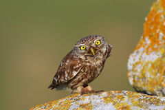 Little Owl (Athene noctua). On a post Royalty Free Stock Image