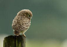 Little Owl (Athene noctua). On a post, Worcestershire, UK Stock Photography
